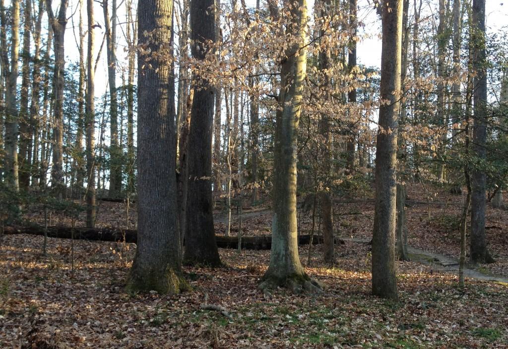 Trees Gaines Mill Virginia Civil War site